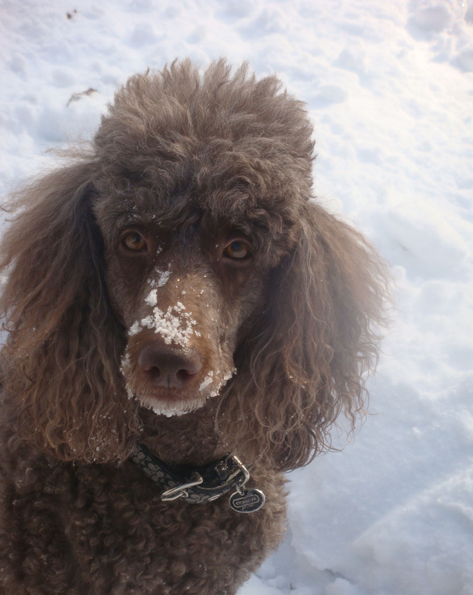 Winter Poodle