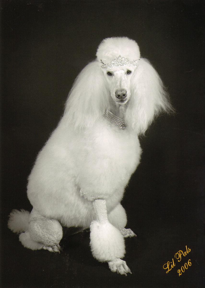 Glamour Poodle